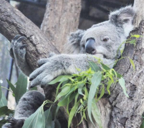Koalas fur helps to get rid of water.