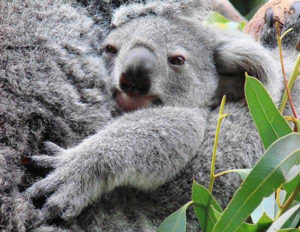 The gallery for --> Koala Pouch Inside