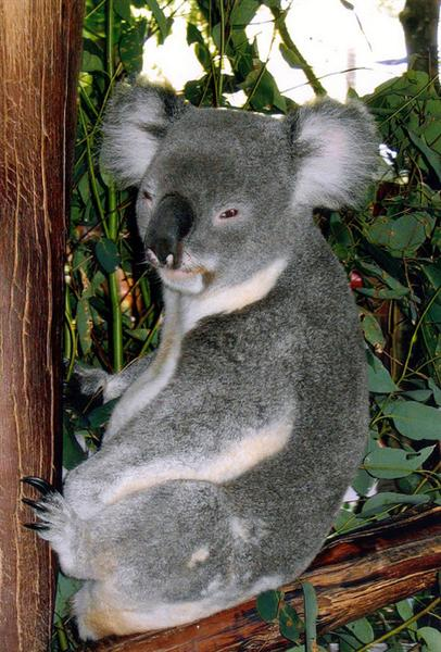 Dried leaves have no water for koalas.