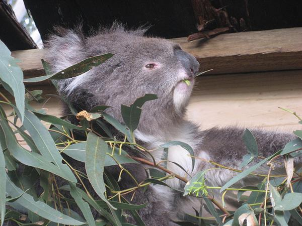 Koalas find no nutrition within Dried leaves.