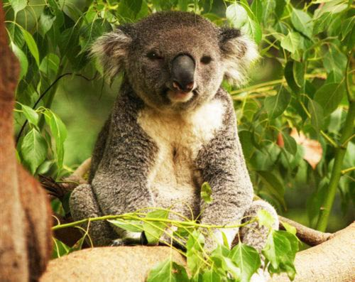 Koalas Eat Eucalyptus Leaves.