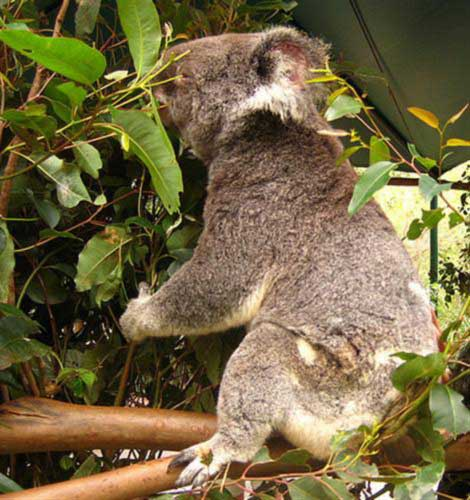 Koalas prefer different kinds of Eucalyptus leaves.