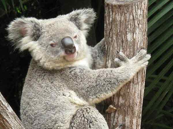 Koalas haven't undergone any differences throughout their evolution.