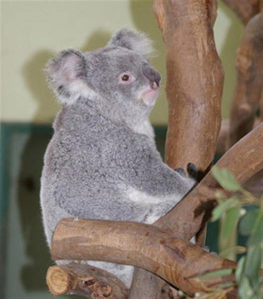 Baby Koala Joeys have dark Eyes.