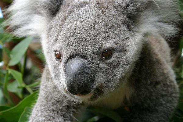 Koalas' Eyeballs are black