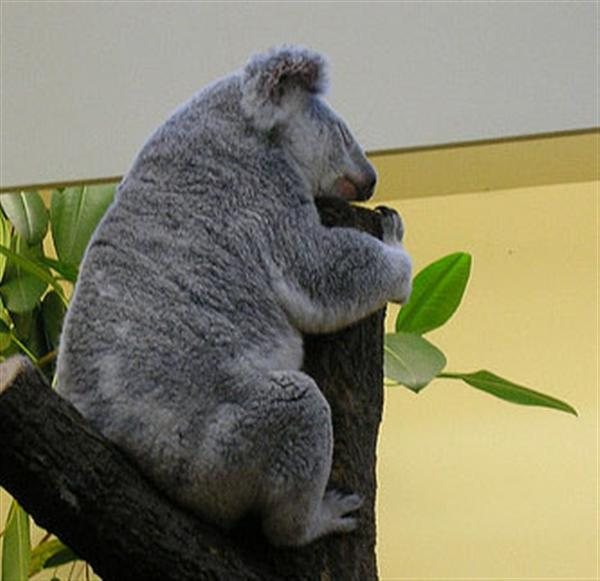 Big Koalas Require More Food.