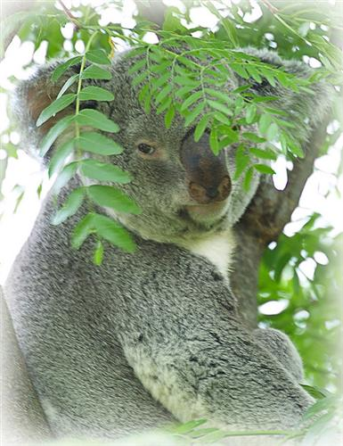Koala Meat Images - Reverse Search