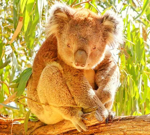 Koalas have Magical Fur