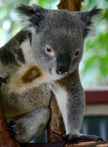 Investigation is required regarding Koalas' preferences for leaves.