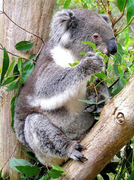 Koalas usually eat poisons rich in Cyanide compounds.