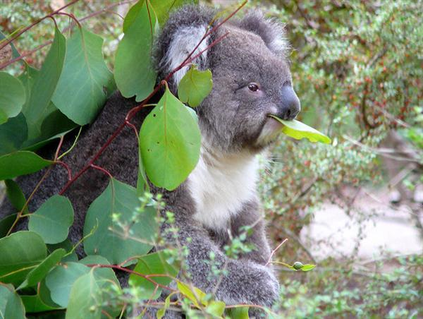 Koala Bear Eating Meat