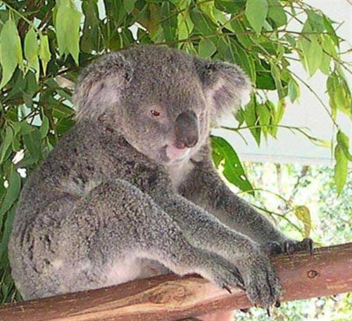 Koalas lack energy and have lower energy levels.
