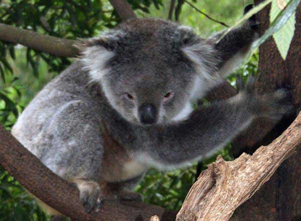 Koalas Metabolism serves as an extreme example