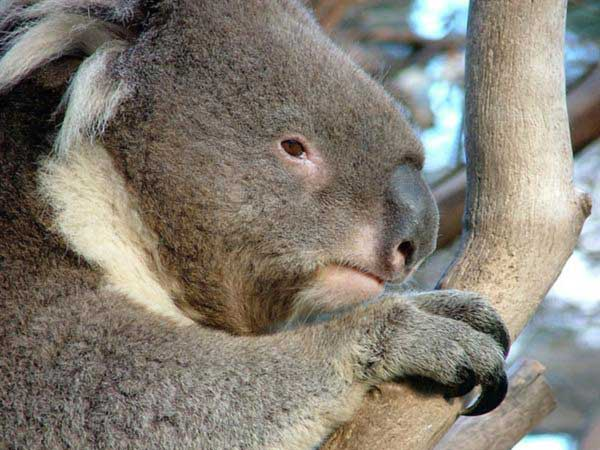 Koalas SLower Metabolism Conserves Body Energy.