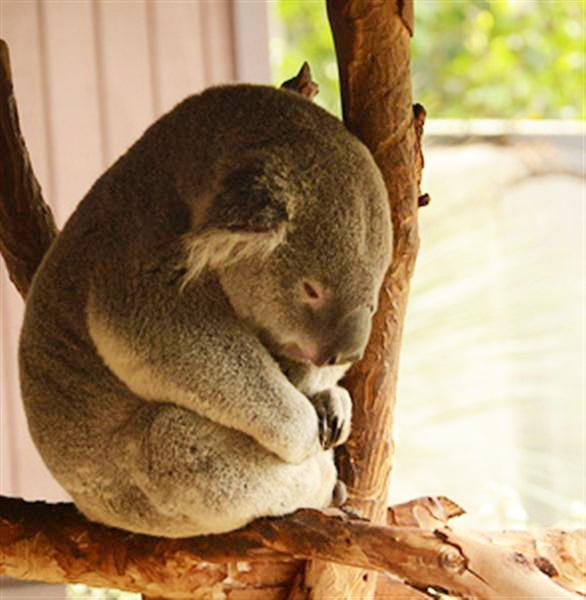 Koalas' Metabolism is perfect for their body requirements.