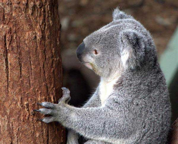 Koalas have slower metabolism