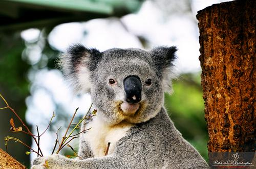 Koalas have relatively dominant nose.