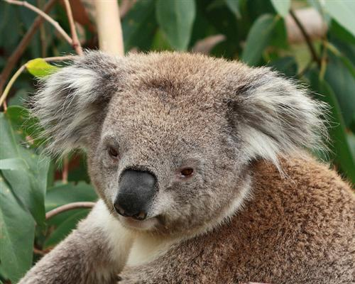 A Koala's nose is visibly very dark and black