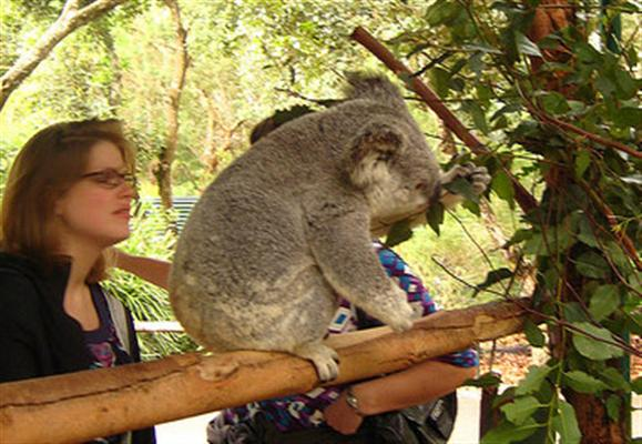 Koalas' Global Popularity is relatively lower.