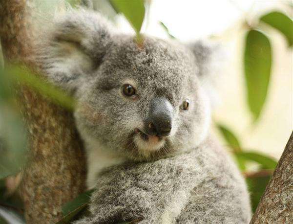 Koalas Population Increased during 20th Century.