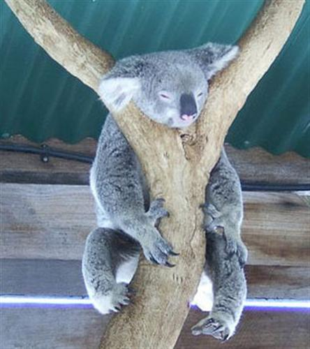 Koalas death through Starvation.