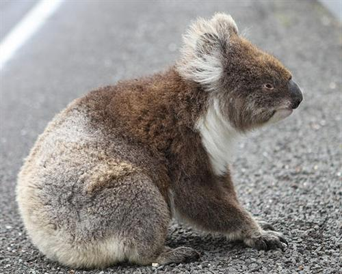 Koalas starve because of lack of food availability.