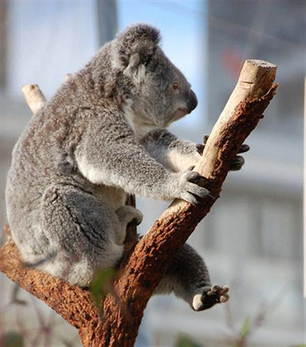 Starvation among Koalas.