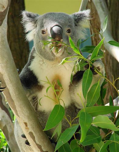 Koalas consume more food during the winter Season.