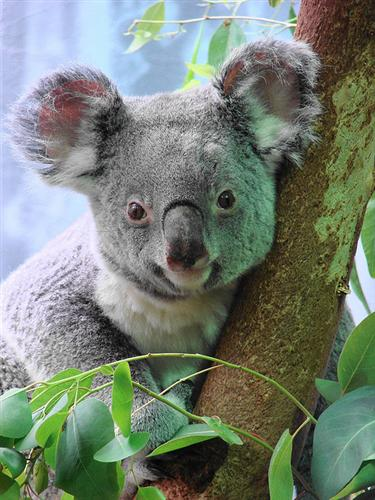 Koalas eat less during the summer seasons.