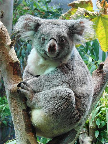 Koalas require more energy levels during winters.