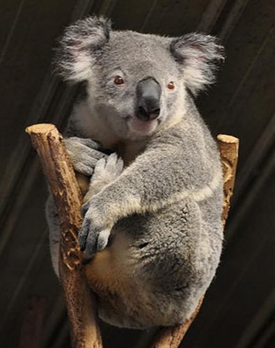 Koalas' Chewsing ability decreases because of tooth-decay.