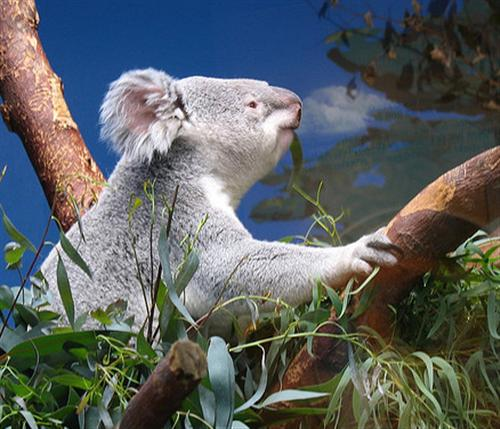 Koalas tooth decay is associated with Koalas diet.