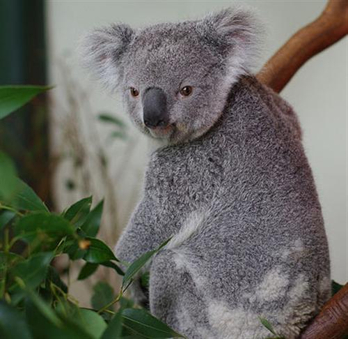 Koalas' Tooth Grinding causing Tooth Decay