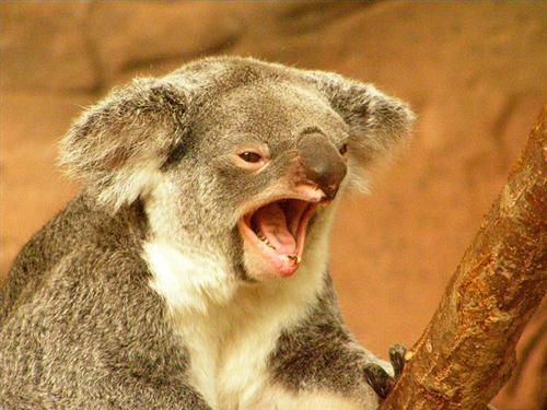 Koalas Tooth Loss through abrasive diet.