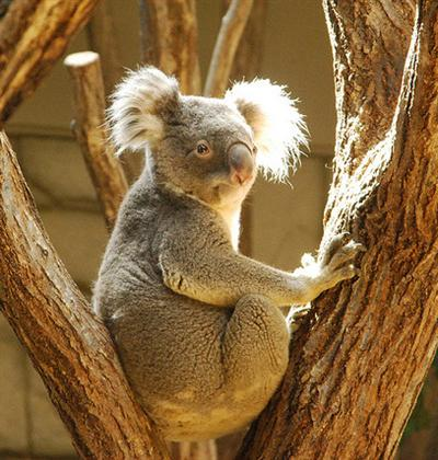 Male Koalas are huge and bigger in sizes