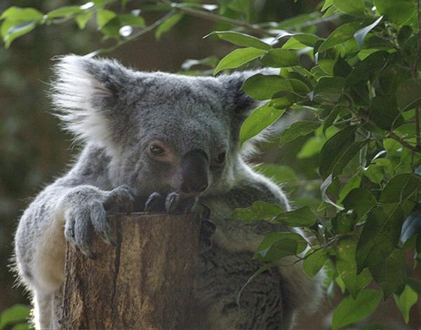 Queensland Koalas' Environmental Conditions make them smaller.