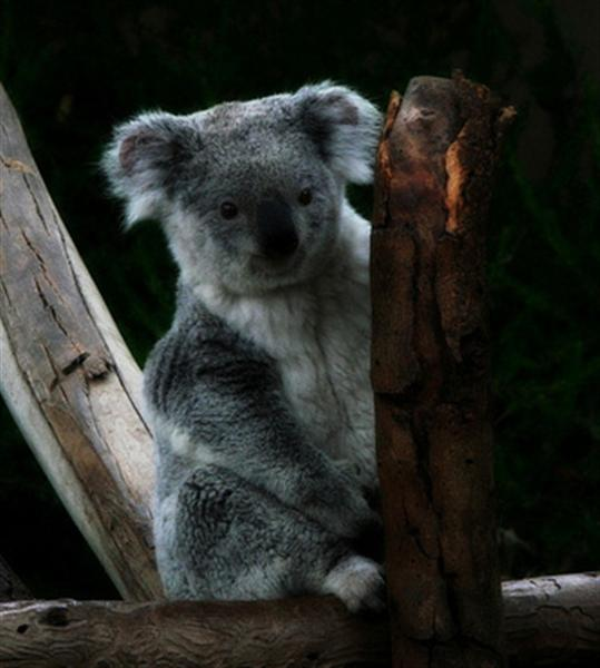 Queensland Koalas are usually smaller.