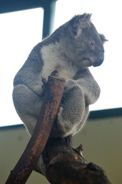 Victorian Koalas are huge in size.