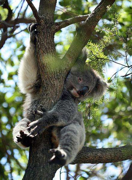 Victorian Koalas Enjoy Healthy Habitat.