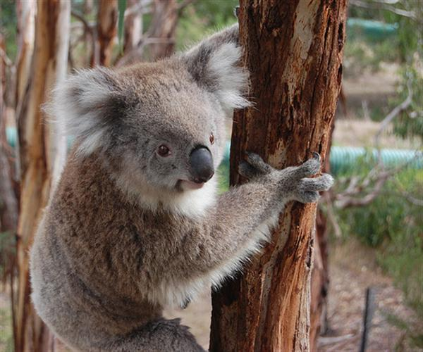 Victorian Koalas have thicker fur