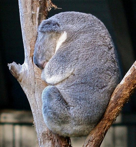 Victorian Koalas weigh around 18 Kilograms
