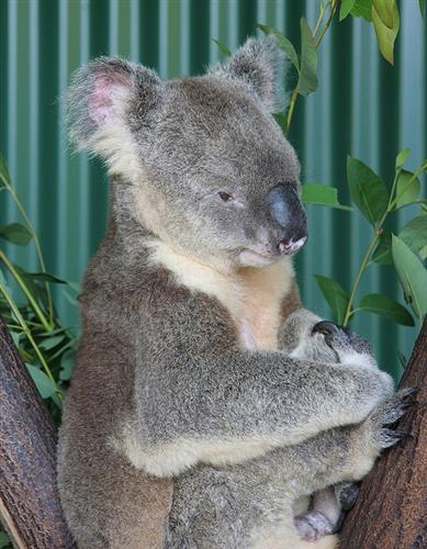 A female Koala weighs 11 Kilograms