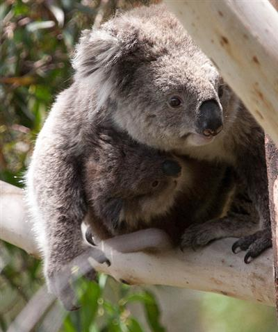 Maximum weight of female Koalas is 11 Kilograms