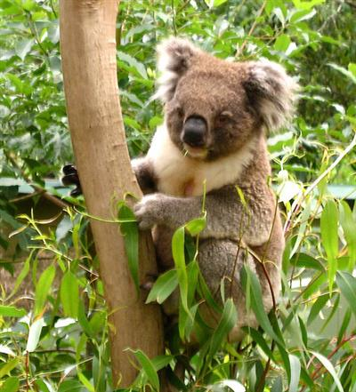 Some Female Koalas are very small in weight.